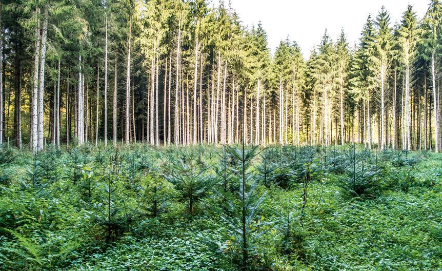 Kuusentaimia metsäaukealla