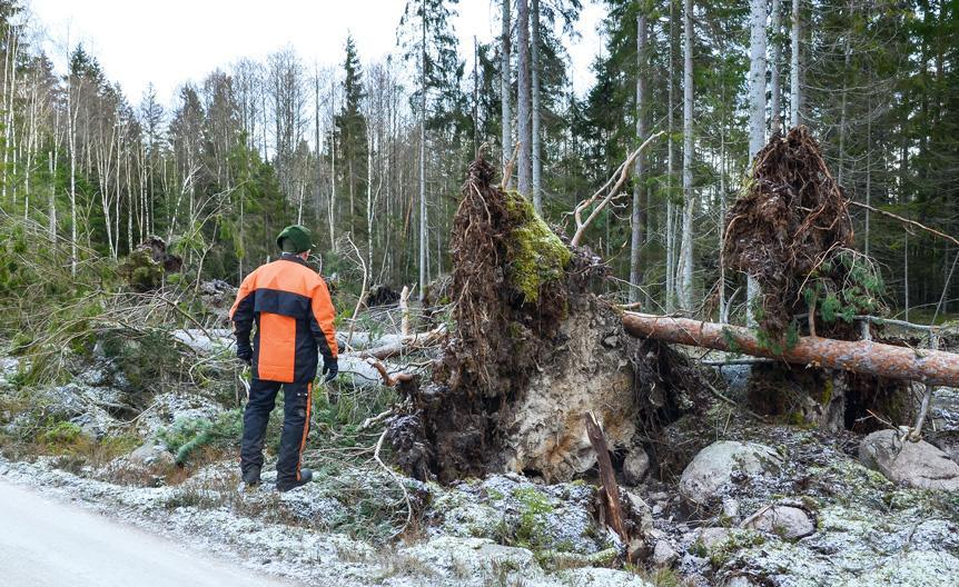 juurineen kaatunut puu metsässä